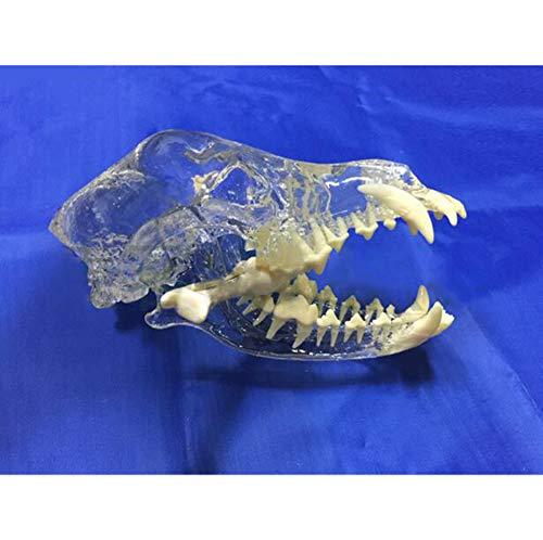 JOND Transparent Hund Hundeartige Zähne Modell, Tierschädel Kieferknochen Anatomisches Modell Und Professionelle Zersetzungs Specimen, Medizinische Lehrmittel
